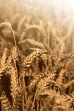 Giacimento di grano dell'oro Fotografia Stock