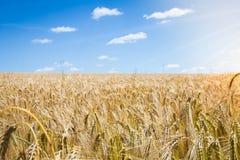 Giacimento di grano dell'oro Fotografia Stock Libera da Diritti
