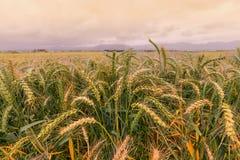 Giacimento di grano delle avene selvatiche Fotografia Stock Libera da Diritti