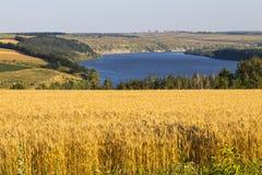 Giacimento di grano di agricoltura al paesaggio rurale della riva del fiume Fotografie Stock