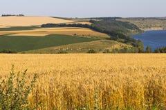 Giacimento di grano di agricoltura al paesaggio rurale della riva del fiume Immagine Stock Libera da Diritti