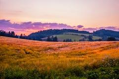 Giacimento di grano di estate Immagini Stock Libere da Diritti