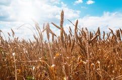 Giacimento di grano di estate Immagini Stock