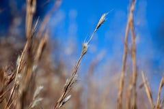 Giacimento di grano di Oklahoma Fotografia Stock