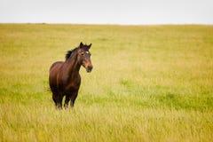 Giacimento di grano diritto del cavallo Fotografia Stock Libera da Diritti