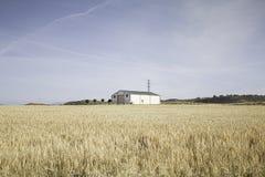 Giacimento di grano domestico Fotografia Stock