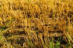 Giacimento di grano dopo il dettaglio del raccolto Fotografie Stock Libere da Diritti