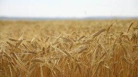 Giacimento di grano dorato archivi video