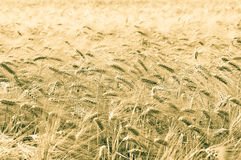 Giacimento di grano dorato Fotografie Stock Libere da Diritti