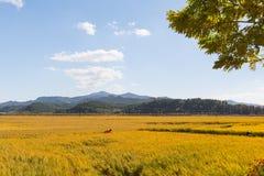 Giacimento di grano dorato Fotografie Stock