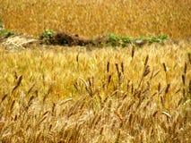 Giacimento di grano dorato Immagini Stock Libere da Diritti