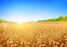 Giacimento di grano dorato Immagine Stock