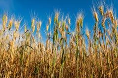 Giacimento di grano dorato di colore contro cielo blu immagine stock libera da diritti