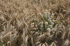Giacimento di grano dorato con i fiori della camomilla Fotografia Stock