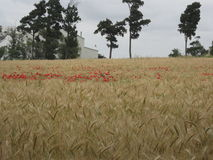 Giacimento di grano dorato con il papavero rosso Fotografia Stock