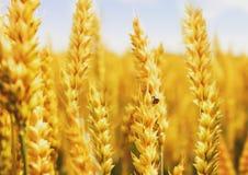 Giacimento di grano dorato con la coccinella Immagini Stock