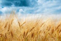 Giacimento di grano dorato con le nuvole di tempesta drammatiche Fotografie Stock
