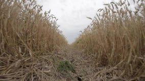Giacimento di grano dorato e giorno soleggiato stock footage
