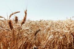 Giacimento di grano dorato e giorno soleggiato Fotografie Stock Libere da Diritti