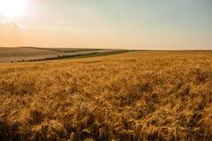 Giacimento di grano dorato di estate con cielo blu Fotografia Stock Libera da Diritti