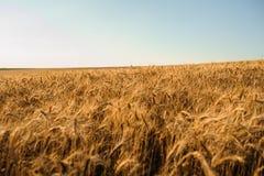 Giacimento di grano dorato di estate con cielo blu Immagini Stock