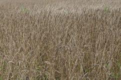 Giacimento di grano dorato di farro piccolo Fotografie Stock