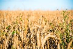 Giacimento di grano dorato il giorno soleggiato ed il cielo blu fotografie stock libere da diritti