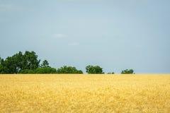 Giacimento di grano dorato di Kansas Fotografia Stock Libera da Diritti