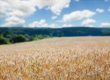 Giacimento di grano dorato, natura rurale, raccolto e fondo di azienda agricola Immagine Stock Libera da Diritti