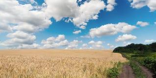 Giacimento di grano dorato, natura rurale, raccolto e fondo di azienda agricola Fotografia Stock Libera da Diritti