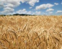 Giacimento di grano dorato, natura rurale, raccolto e fondo di azienda agricola Immagini Stock