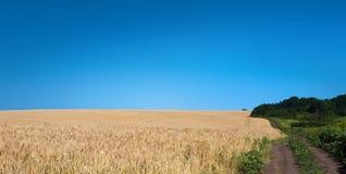 Giacimento di grano dorato, natura rurale, raccolto e fondo di azienda agricola Fotografie Stock