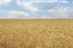Giacimento di grano dorato, natura rurale, raccolto e fondo di azienda agricola Fotografie Stock Libere da Diritti