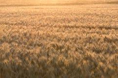 Giacimento di grano dorato nella mattina Immagine Stock