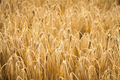 Giacimento di grano dorato per la stagione del raccolto Fotografie Stock