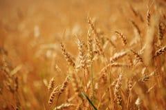 Giacimento di grano dorato pronto a raccogliere Immagine Stock