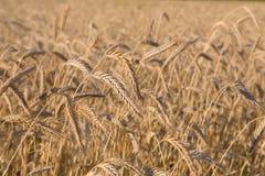 Giacimento di grano dorato, raccolto e fondo di azienda agricola Immagine Stock Libera da Diritti
