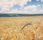 Giacimento di grano dorato, raccolto e fondo di azienda agricola Fotografia Stock