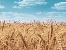 Giacimento di grano dorato sotto cielo blu fotografie stock