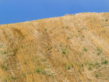Giacimento di grano dorato su una collina dopo il cielo blu del raccolto Fotografie Stock Libere da Diritti