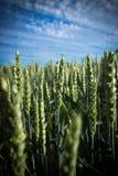 Giacimento di grano durante domenica fotografia stock