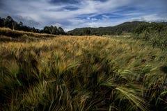 giacimento di grano e bei azzurri, campo ad agricoltura fotografie stock