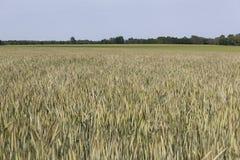 Giacimento di grano e campagna - paesaggio fotografie stock