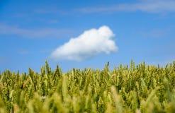 Giacimento di grano e del cielo blu Immagini Stock