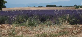 Giacimento di grano e della lavanda in Provenza, Francia fotografie stock