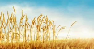 Giacimento di grano e luce solare dorata Immagine Stock Libera da Diritti