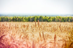Giacimento di grano e vigna Fotografie Stock