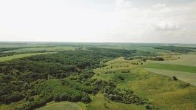 Giacimento di grano e vista aerea della collina Ondeggiamento verde del grano delle orecchie nel vento Raccolto, grano che cresce archivi video