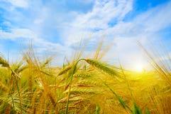 Giacimento di grano ed alba nel cielo blu Immagini Stock Libere da Diritti