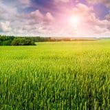 Giacimento di grano ed alba nel cielo blu Immagine Stock Libera da Diritti